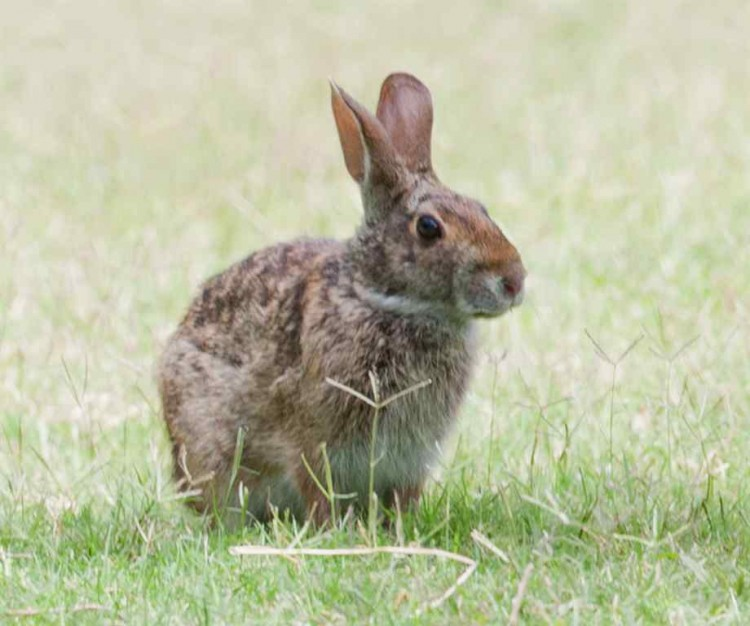 wild-rabbit-sitting-in-grass